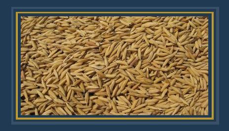 أرز شعير - صورة أرشيفية