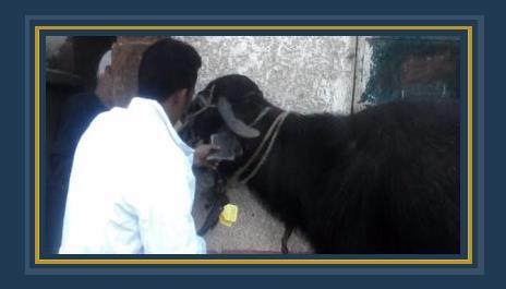 تحصين الماشية ضد مرض الحمى القلاعية
